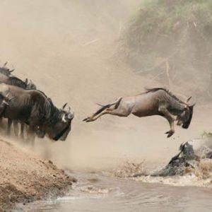 Wildebeests Crossing River In Serengeti